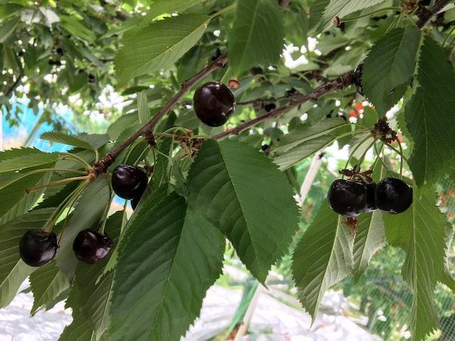 完熟した紅さやか(黒いさくらんぼ)が木になっている。