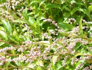 タデアイの花