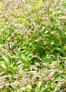 タデ藍の花
