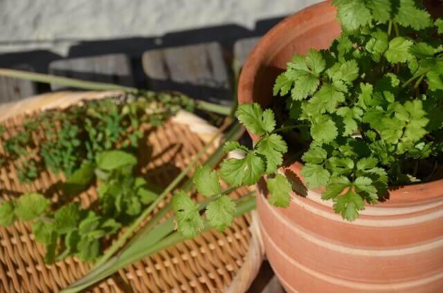 パクチー家庭菜園で育てる