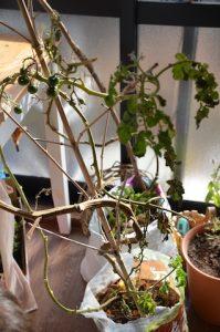 トマト植え付けから9ヶ月目