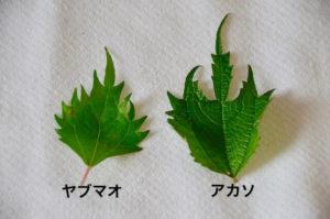 アカソとヤブマオの葉っぱ