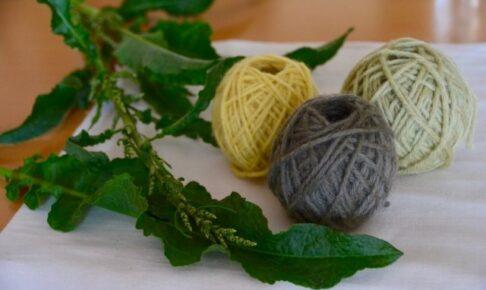 雑草ギシギシで染められた毛糸が3つとギシギシの葉が飾ってある